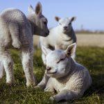 Nově narozená jehňata mají pomoct s obnovou horských pastvin