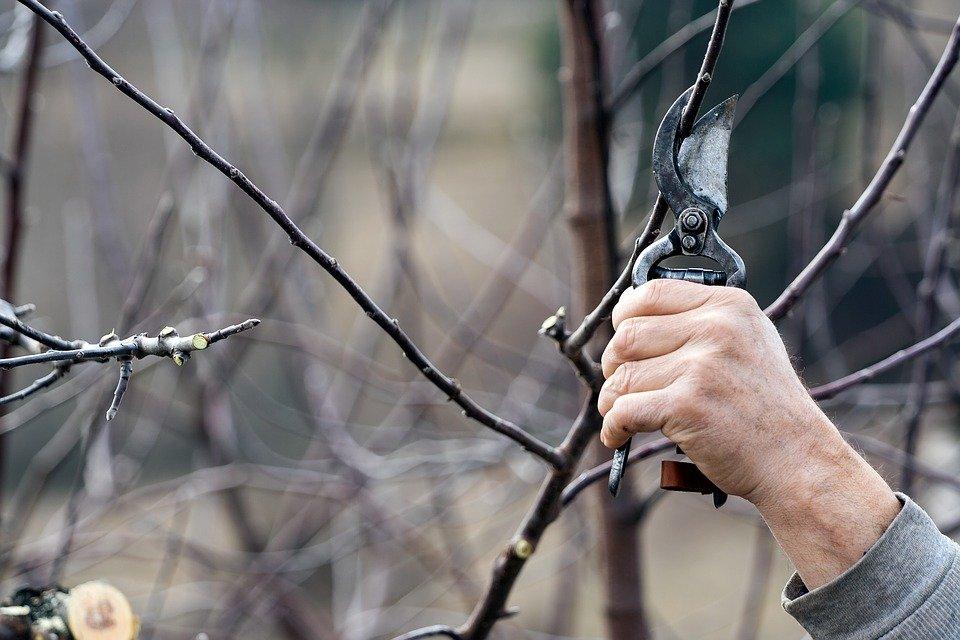 Omlazující sestřih pro stromky na sídlištích